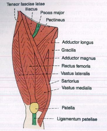 World science articles all muscles of the anterior compartment assuming the position in which tailors sit and work ie the palthit posture sartor tailor the quadriceps is a strong extensor of the knee joint ccuart Gallery