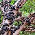 Jabuticaba Nedir? Jabuticaba Nasıl Bir Meyve