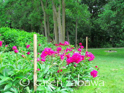 Stakes and string support large red bush peonies in full bloom at Mississauga public garden.