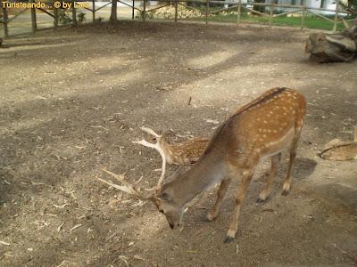 Ciervos Zoo Parque Prudencio Navarro Ayamonte