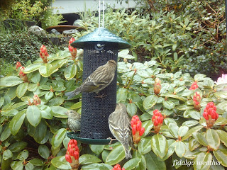 Rhododendron 'Krisin' and Pine Siskins