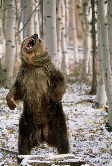 Grizzly Bear Standing Up Angry