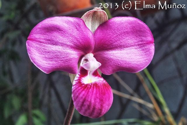 Phragmipedium peruvianum (syn kovachii) foto de la flor