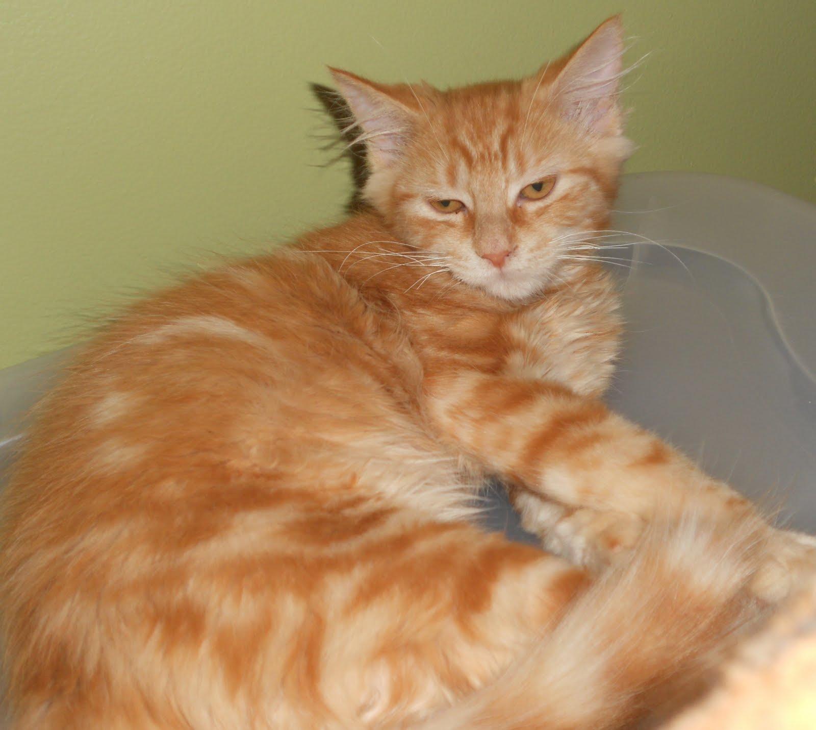 feline rescue cat tales orange kitties