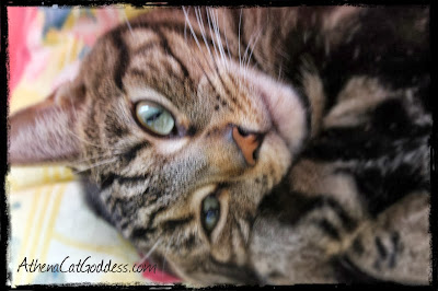 tabby cat photo