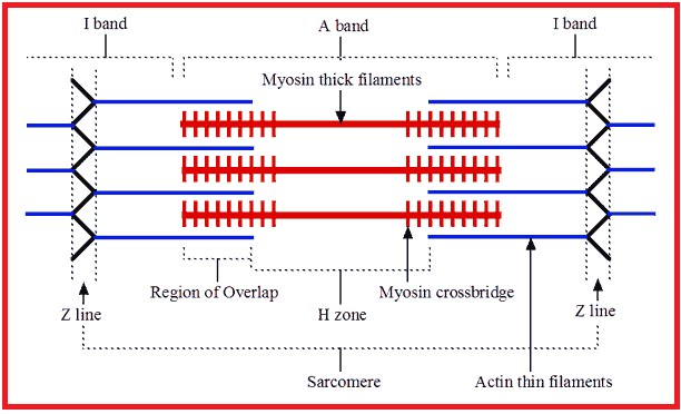 Mekanisme Kontraksi Otot