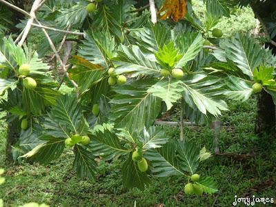 Breadfruit, Kadachakka