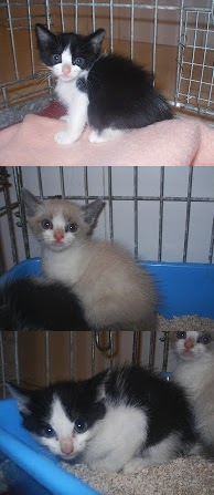 Cachorros de gato de 3 meses en adopción