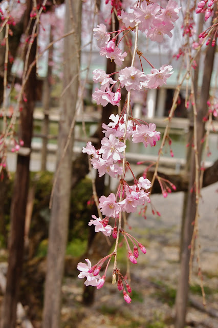 Weeping cherry in Kyoto