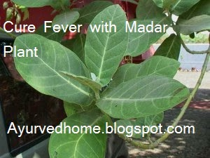 madar plant for fever