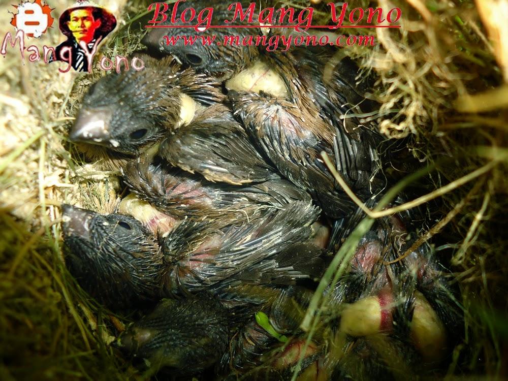 Anak Burung pipit pekin ada 6 ekor. Poto By Mang Yono