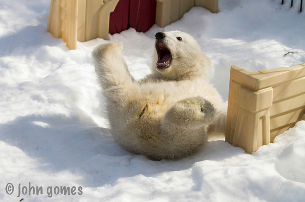 Baby Polar Bear1