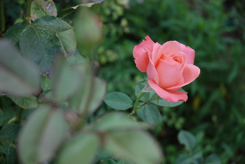 Una rosa del jardin del Monasterio de Calatayud