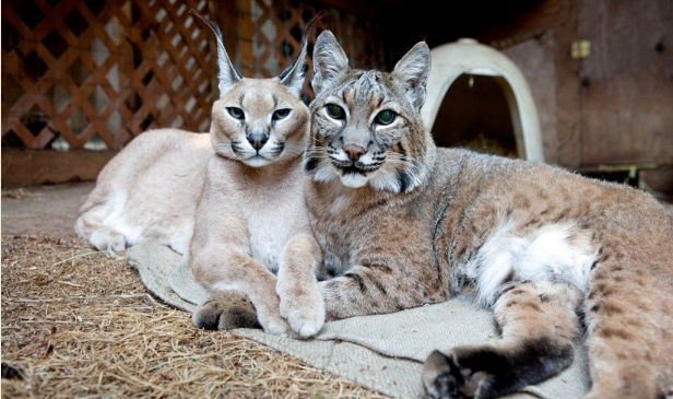 Unlikely Animal Friends: The Bobcat and the Caracal (VIDEO)