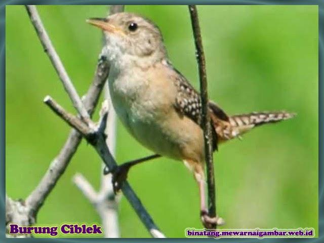 gambar burung ciblek