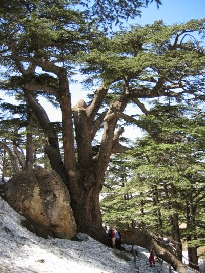 Cedars Of Lebanon ~ Marie s pastiche the cedars of lebanon lebanese flag
