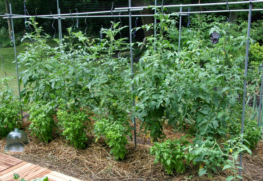 How to grow tomatoes grow bags or soil the garden of eaden for Growing gardens