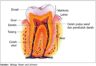 Struktur gigi