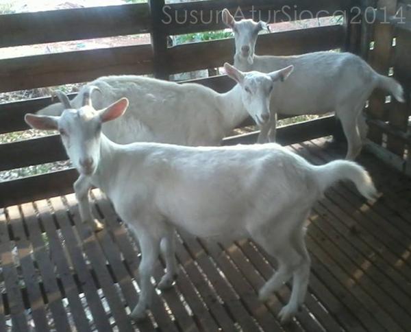 Susu kambing segar Melaka