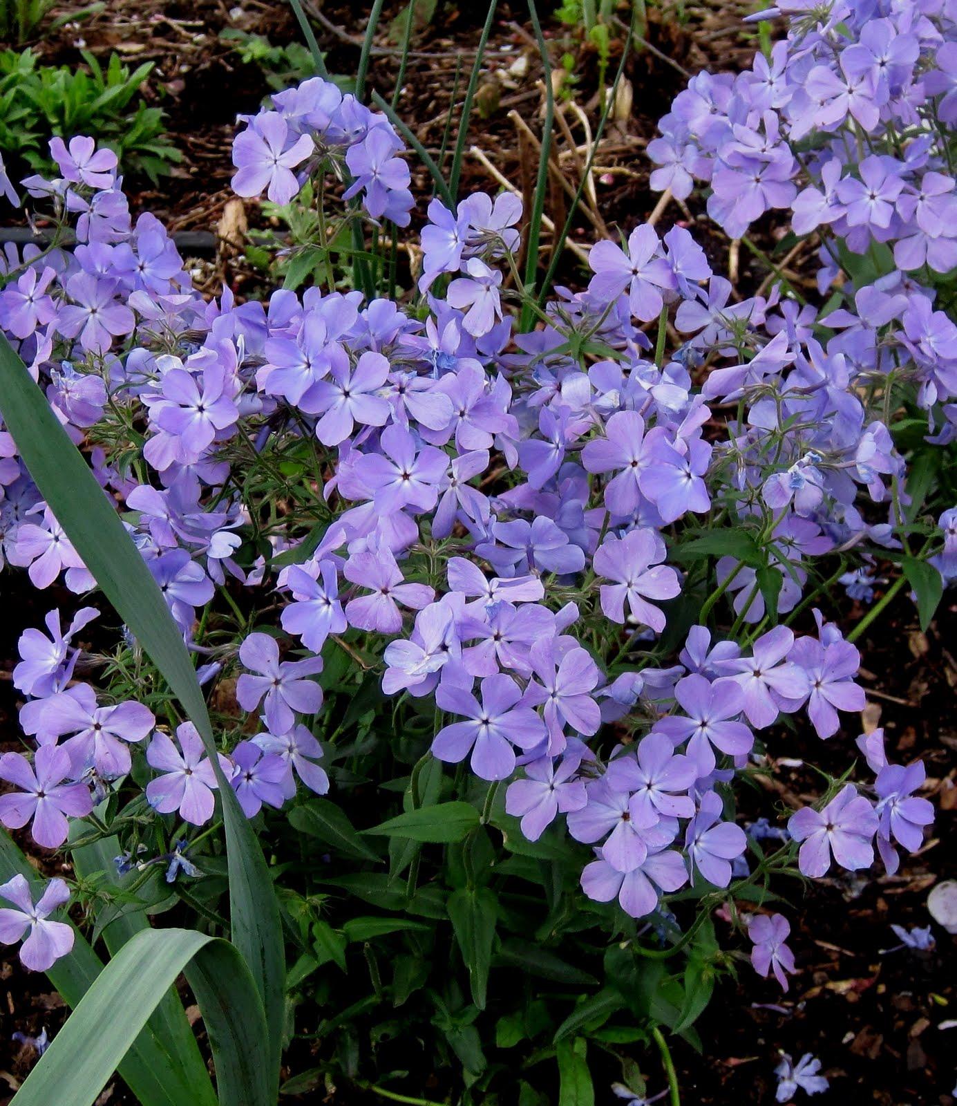 Franklin county pa gardeners bloom day part 1 june 4 2011 phlox divaricata blue moon izmirmasajfo