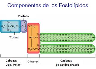Componentes de los fosfolípidos