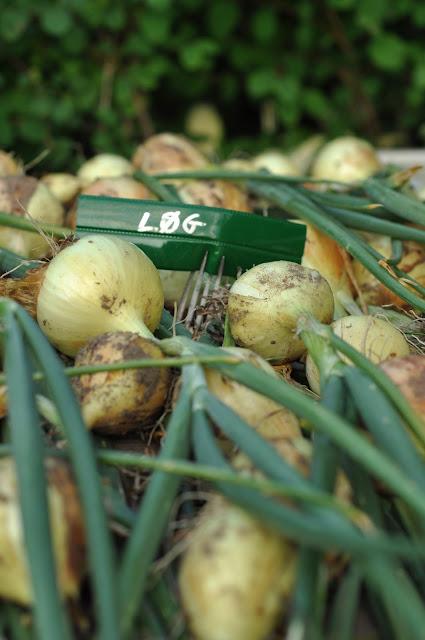 vinterstikløg,planteskilt,planteskilt genbrug,lav selv planteskilte,løghøst,