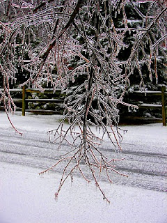 ice-coated branches of a cherry tree
