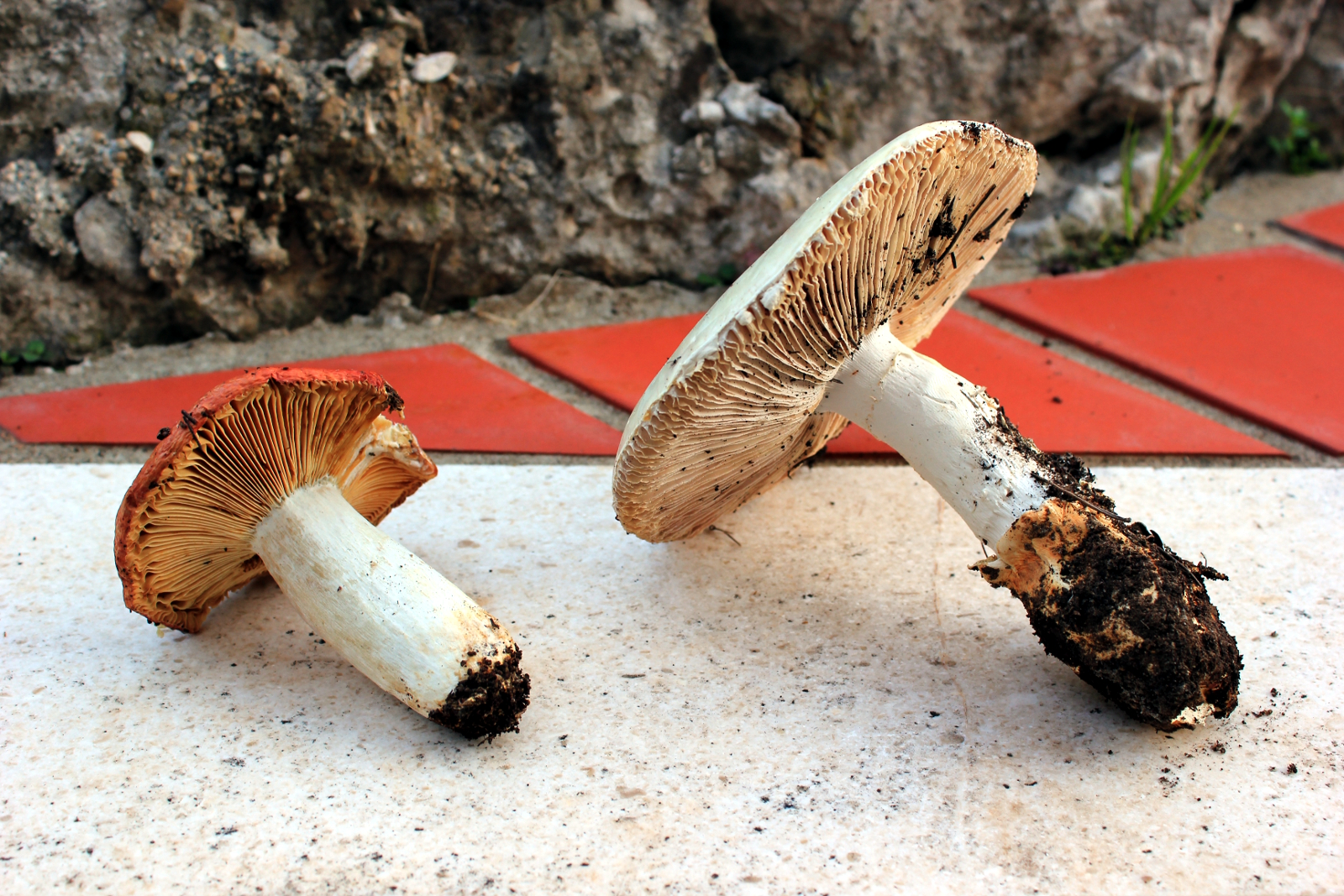 Russula aurea and Amanita virosa, side by side