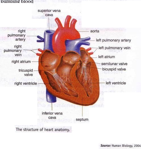 Structure Of Heart Anatomy And Blood Pathway In Heart New Science