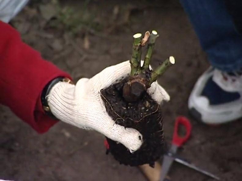 Как посадить засохшие розы