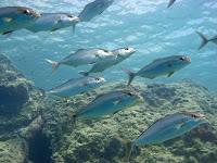 Diving Cyprus with Mediterranean Jacks