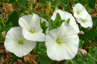 White Ipomoea Violacea