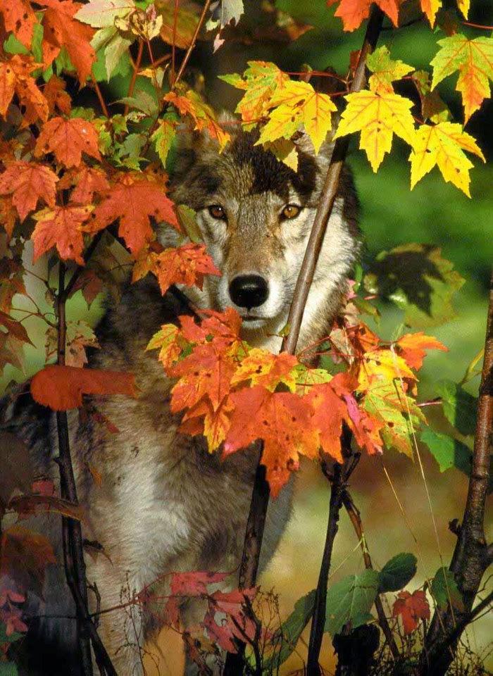 O Lobo do Rock