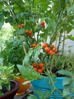 Balcony Tomatoes