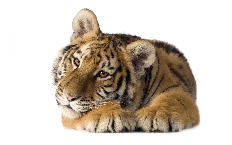 http://1.bp.blogspot.com/-JOklIX5XpPs/TgnDfMPJ6tI/AAAAAAAADm4/4k7Bbpp0jfw/s1600/Tiger-wallpaper_7.jpg