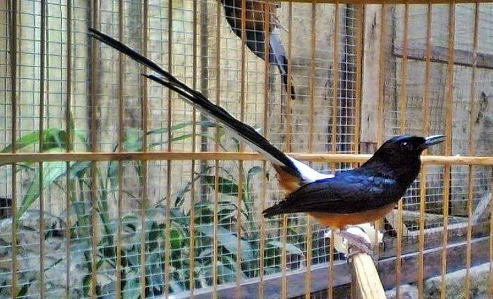Budidaya Burung Harga Murai Batu Medan Juli 2014