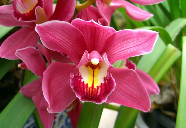 Cymbidium Flowers Pictures