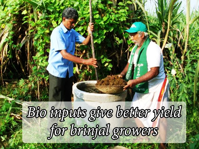 Bio inputs give better yield for brinjal growers