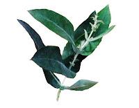 Eucalipto y pino oloroso para la tos