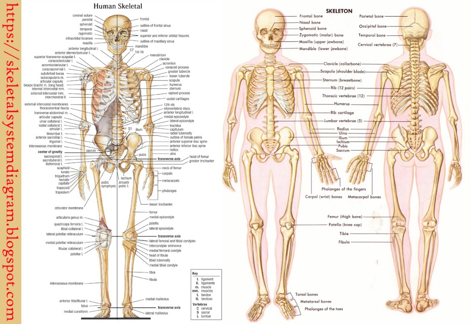 Skeletal System Diagram How Skeletal And Muscular System Works