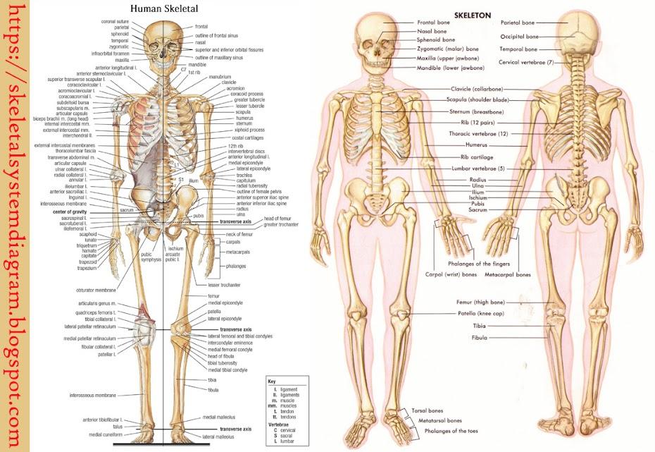 Skeletal System Diagram