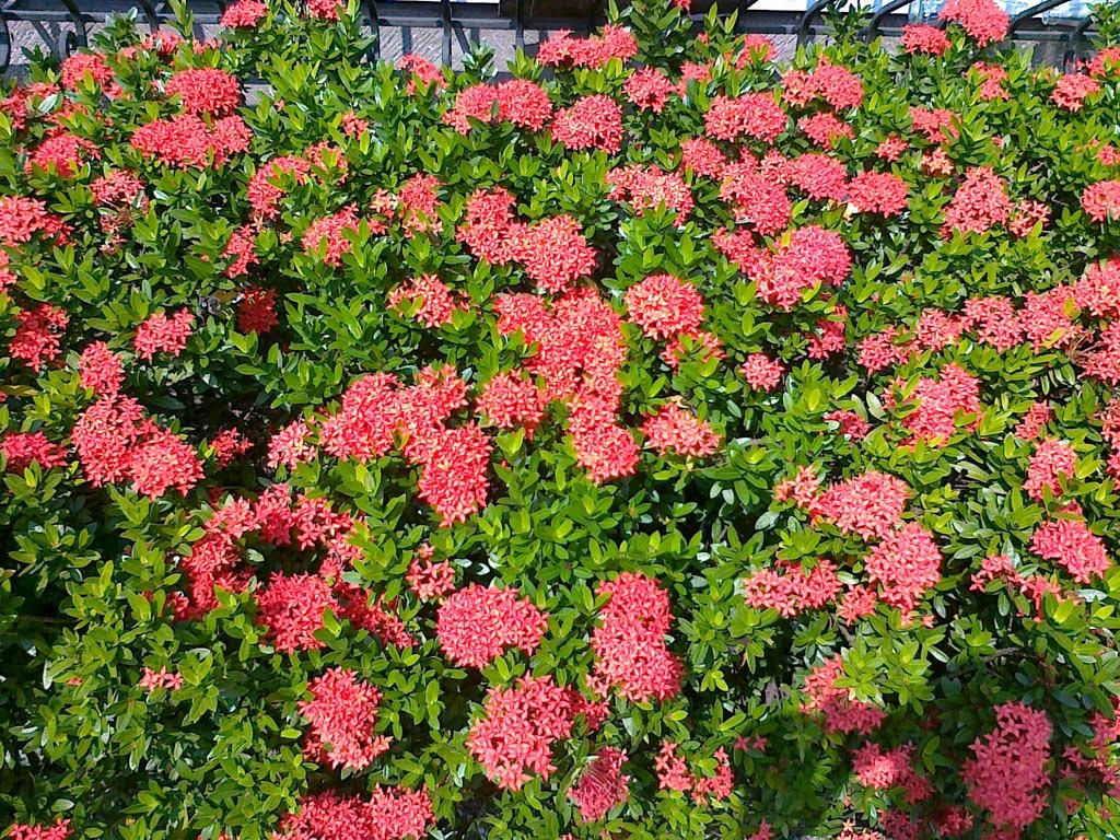 Jungle Flowers And Plants Flowering Santan Plant