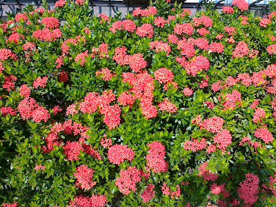 Red Santan Flower