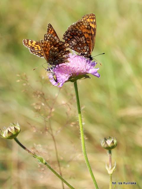 motyle , motylek , motyl , podlasie , owady , rusałkowate , wycieczka , łąka