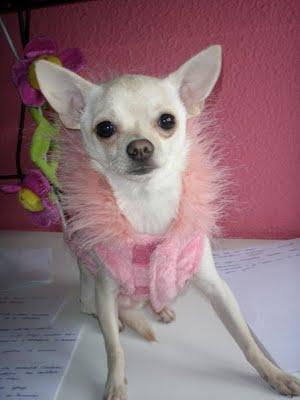 perro chihuahua fondo de - photo #24