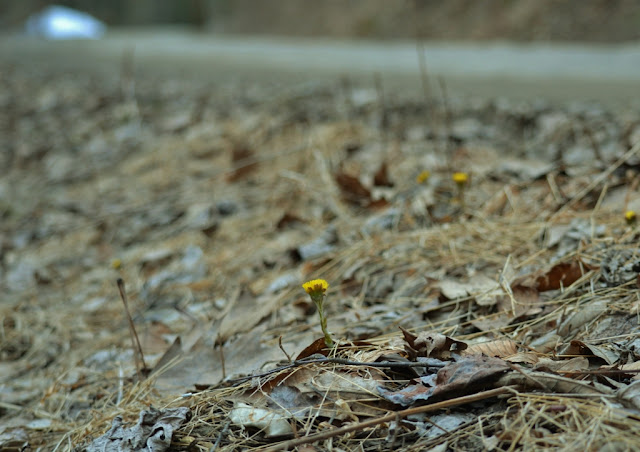 coltsfoot flowers in March