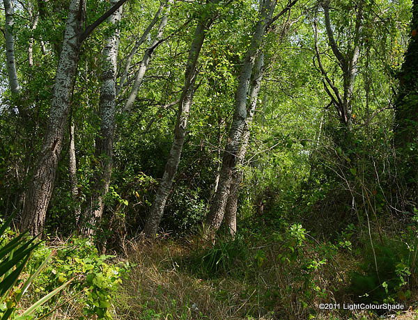 Nature corner. Birch forest glade