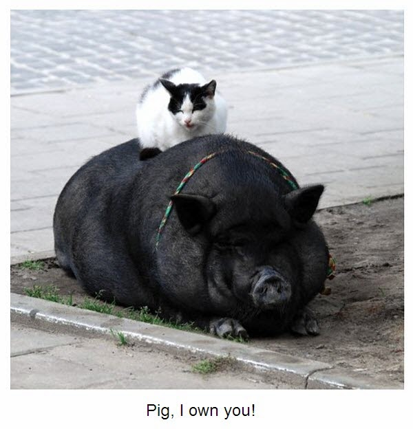 Kitty sitting on back of a pig.
