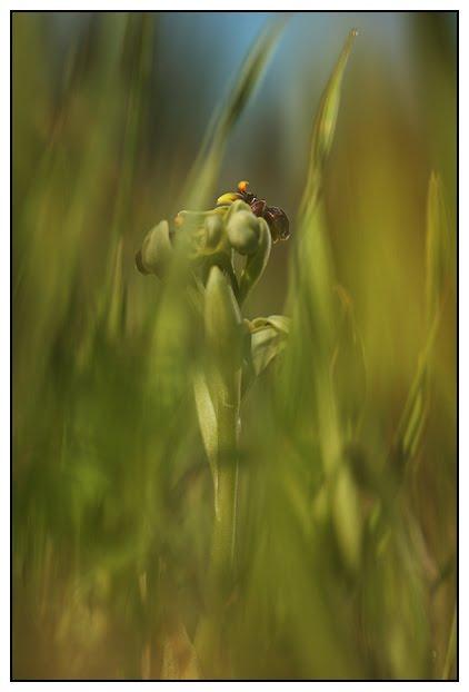 Ophrys bombyliflora Ophrys-bombyx-%25282%2529