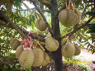 Cara meningkatkan hasil budidaya durian dengan pupuk organik nasa
